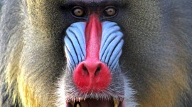 Baboon Wallpaper For Mobile