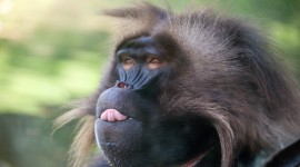 Baboon Wallpaper For PC