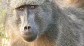 Baboon Wallpaper Free