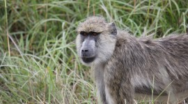 Baboon Wallpaper Full HD