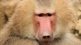 Baboon Wallpaper High Definition