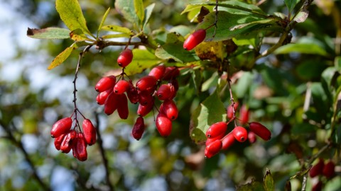Barberry wallpapers high quality