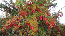Barberry Wallpaper Free