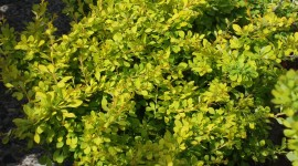 Barberry Wallpaper HD