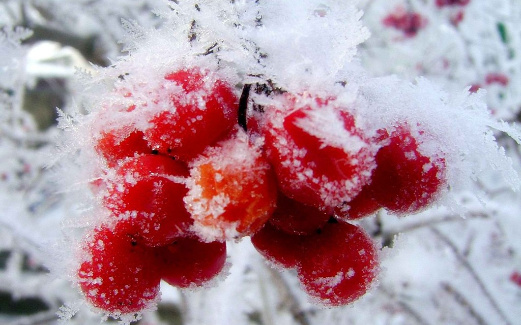 Berries In The Snow wallpapers HD