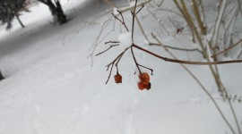 Berries In The Snow Photo Download#1