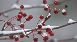 Berries In The Snow Photo Free