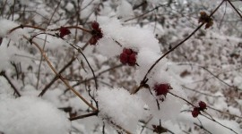 Berries In The Snow Photo Free#1