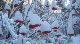 Berries In The Snow Photo Free#2