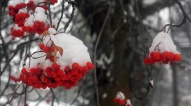 Berries In The Snow Photo#1