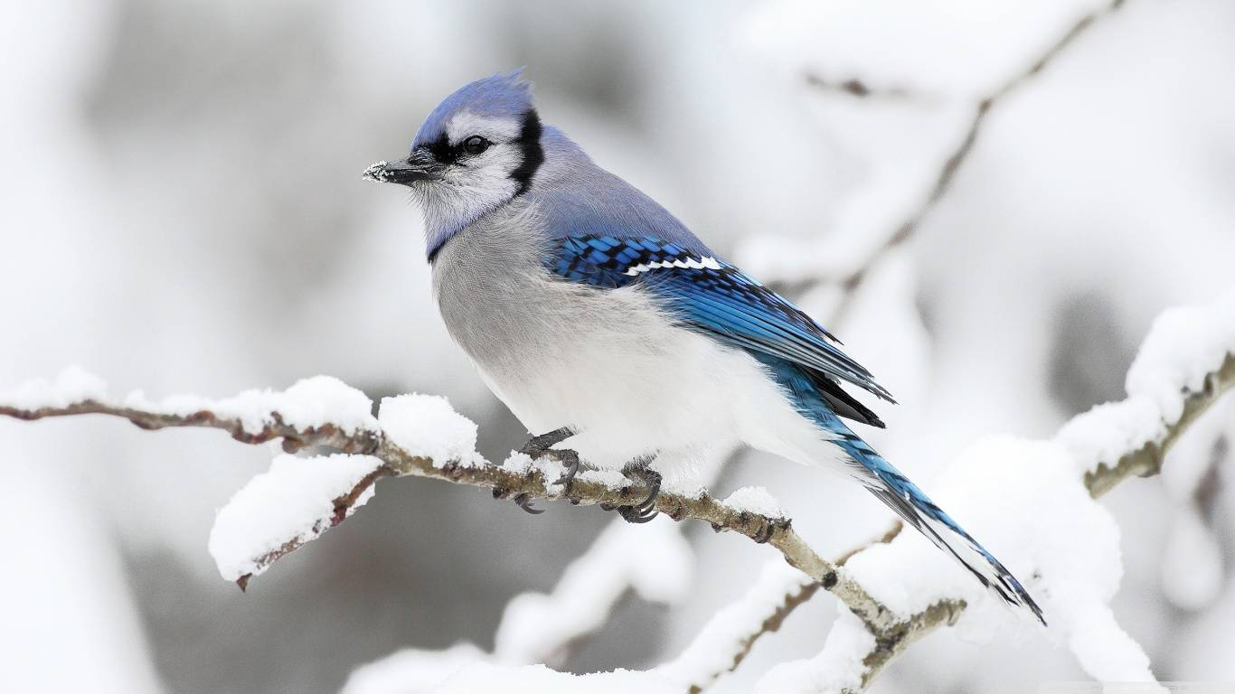 birds in winter wallpapers high quality download free