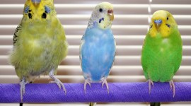 Budgie Desktop Wallpaper For PC