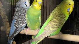 Budgie Photo Download