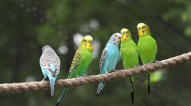 Budgie Wallpaper Download