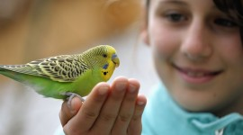 Budgie Wallpaper Download Free