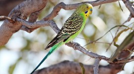 Budgie Wallpaper For PC