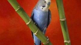 Budgie Wallpaper Free