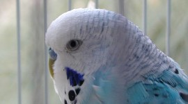 Budgie Wallpaper Full HD