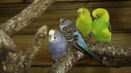 Budgie Wallpaper Gallery