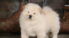 Chow Chow Best Wallpaper