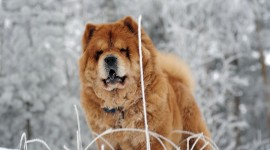 Chow Chow Wallpaper Download
