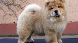 Chow Chow Wallpaper For Desktop