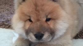 Chow Chow Wallpaper For IPhone 6 Download