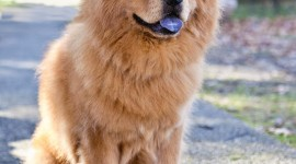 Chow Chow Wallpaper For IPhone 7