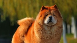 Chow Chow Wallpaper For IPhone Download