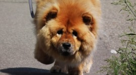 Chow Chow Wallpaper For IPhone Free