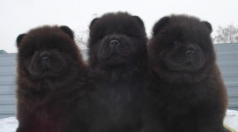 Chow Chow Wallpaper Free