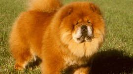 Chow Chow Wallpaper Gallery