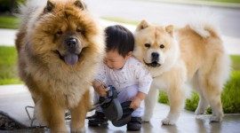 Chow Chow Wallpaper HQ
