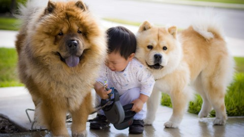 Chow Chow wallpapers high quality