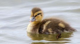 Duckling Photo Download