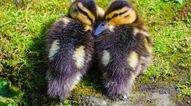 Duckling Photo Free#1