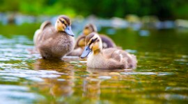 Duckling Wallpaper Download