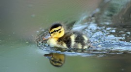 Duckling Wallpaper Download Free