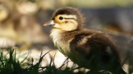 Duckling Wallpaper For Desktop