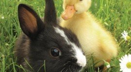 Duckling Wallpaper For IPhone