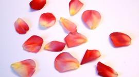 Flower Petals Desktop Wallpaper HD