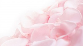 Flower Petals Wallpaper High Definition
