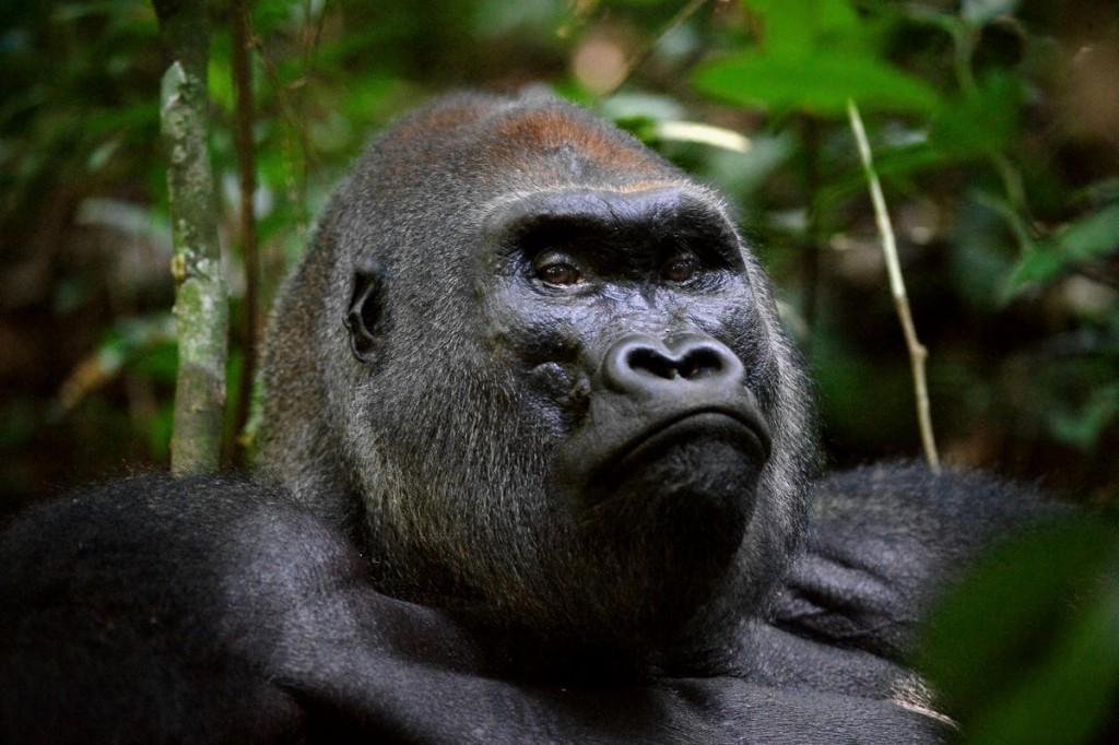 Gorillas wallpapers HD