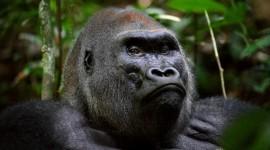 Gorillas Best Wallpaper