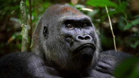 Gorillas wallpapers high quality