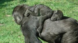 Gorillas Desktop Wallpaper