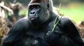 Gorillas Desktop Wallpaper For PC