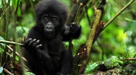 Gorillas Desktop Wallpaper HD