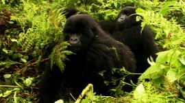 Gorillas Photo