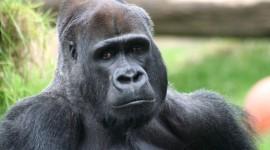 Gorillas Photo Download
